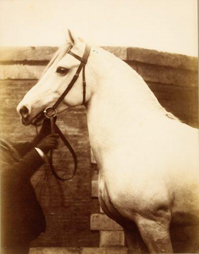 05.-Cheval-blanc-de-profil-tenu-par-un-lad---DO-1979-74