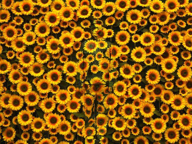 _Sunflower-No.1