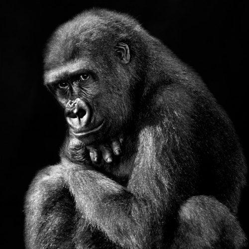 Isabel-Muñoz-Série-22Primates22-Gorille-Zoo-de-Madrid-2014
