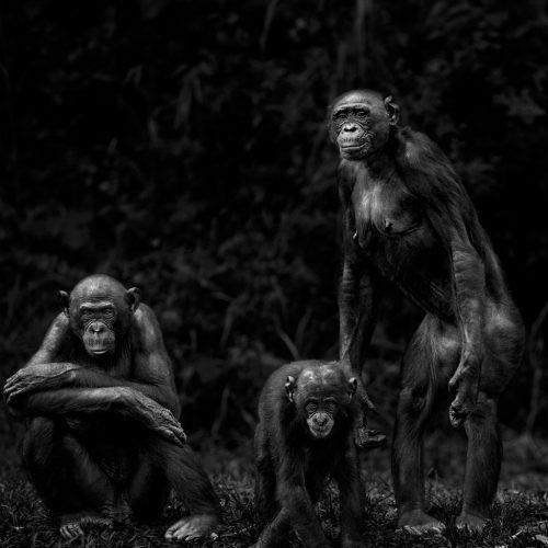 Isabel-Muñoz-Série-22Primates22-Lola-Ya-Bonobo-Congo-2014