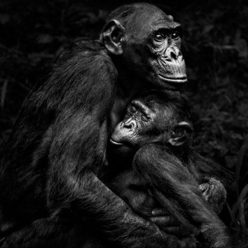 Isabel-Muñoz-Série-22Primates22-Lola-Ya-Bonobo-Congo-2015