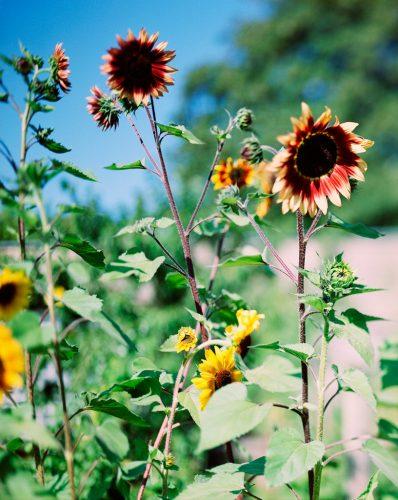Struth_Helle-Sonnenblume---N1