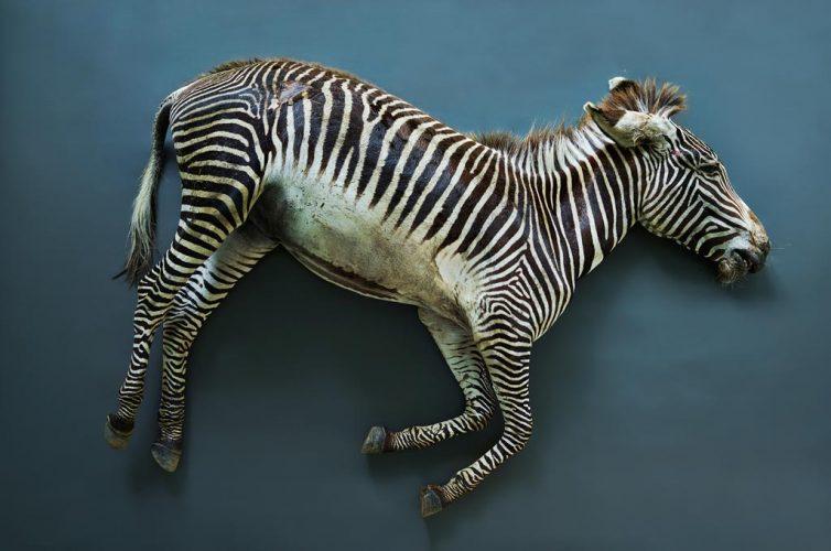 Struth_Zebra